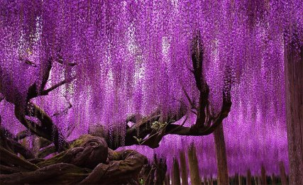 amazing-beautiful-large-wisteria-bloom-japan-1